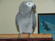 Nice african grey parrot for a new home